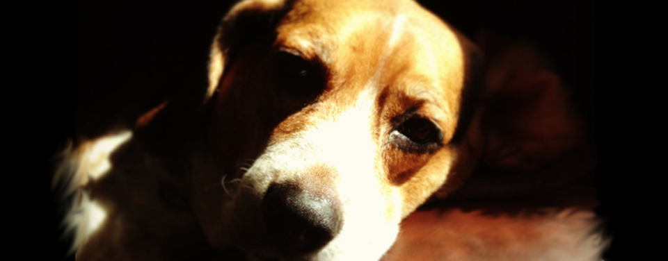 Feargal the Beagle in the Shade